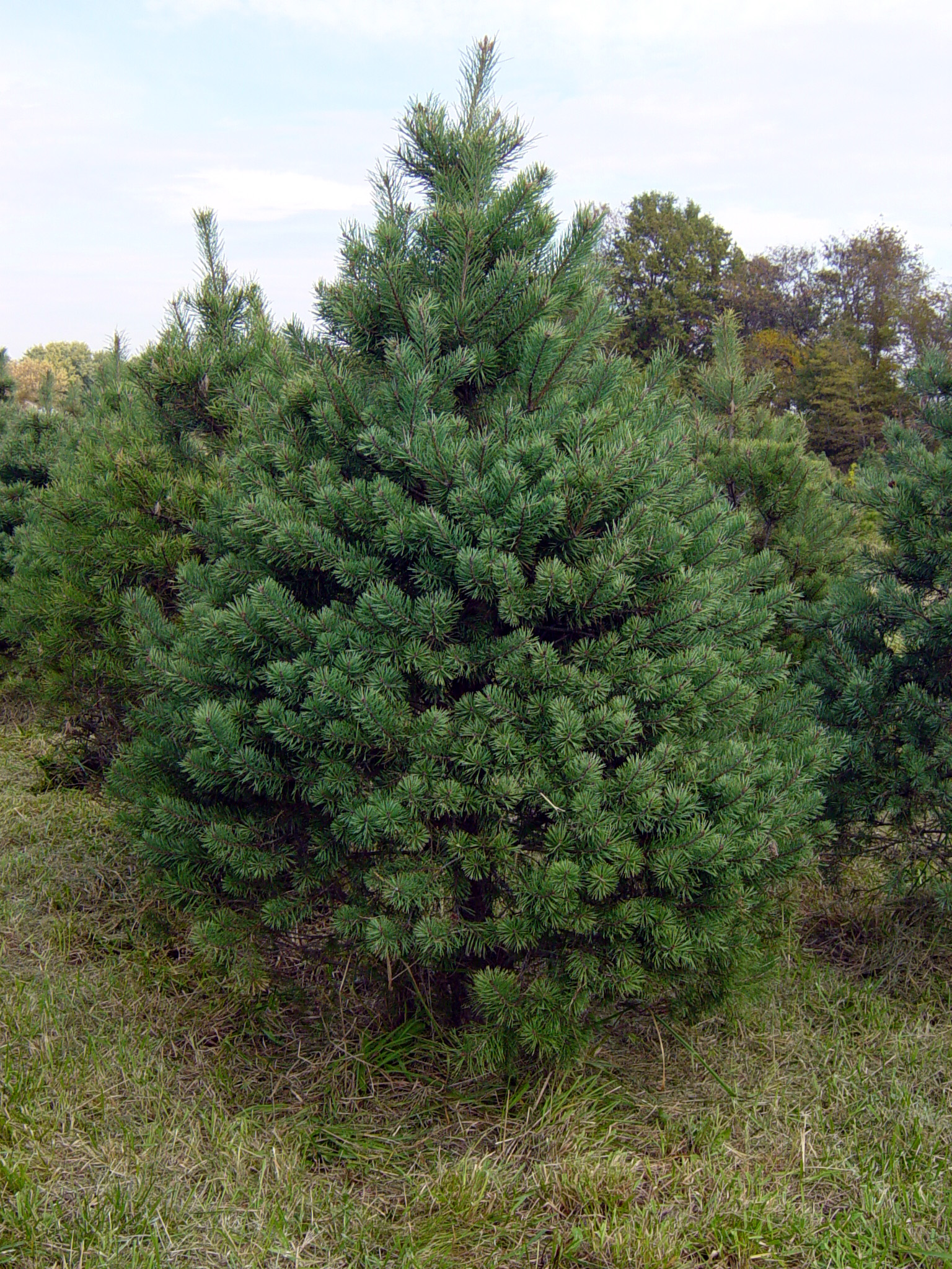 scots pine a native tree - Real Christmas Tree Prices
